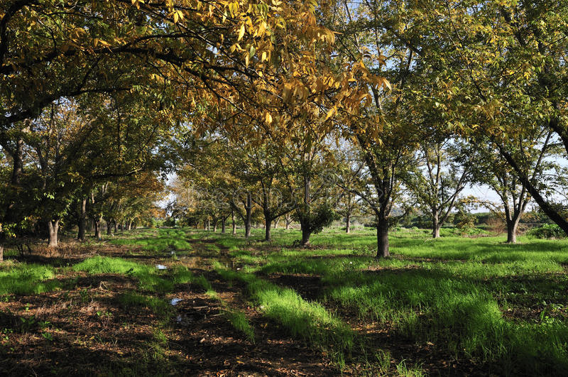 Grove the pecan. Is a large deciduous tree , growing to 20�40 m (66�130 ft stock photo