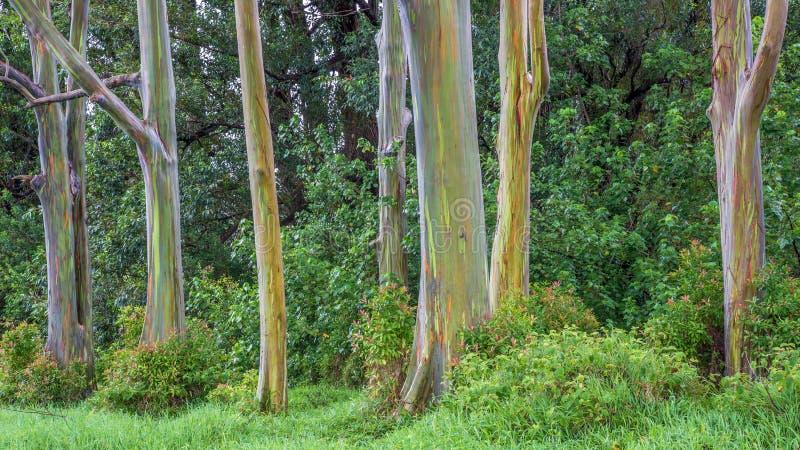 Grove Of Rainbow Trees stock photography