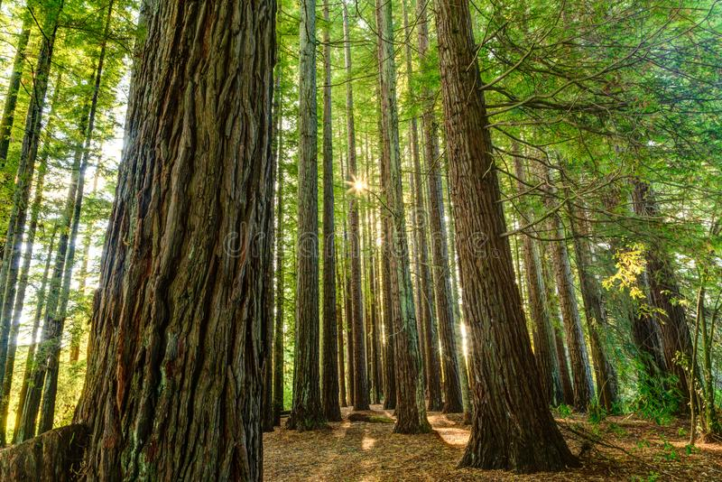 A grove of redwood trees, with sunlight shining through. Beautiful redwoods, lit up by the sunlight filtering between their tall and rugged trunks royalty free stock photography