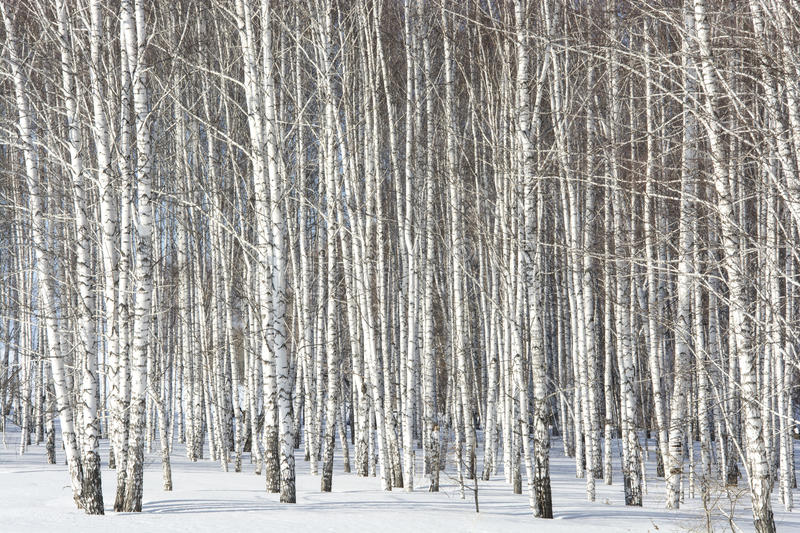 Grove of silver birches. Big grove of silver birches in the spring in snow royalty free stock images