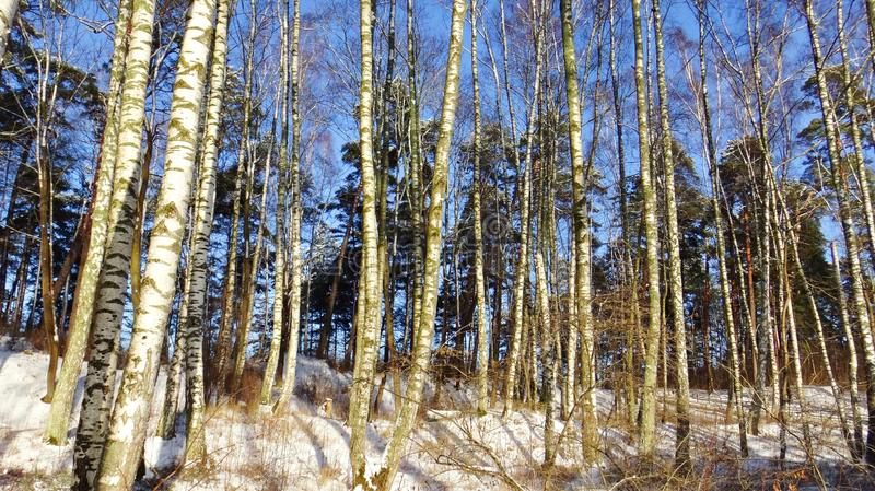 Grove of slender birches fluffy white snow on a sunny winter day stock images