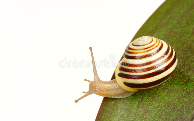 Grove snail on green leaf royalty free stock photography