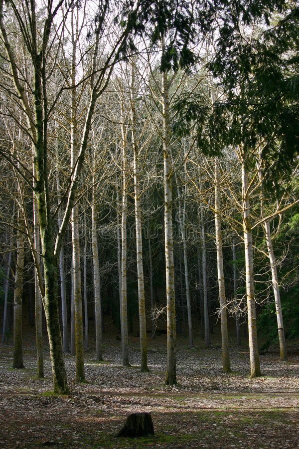 Download Grove of Trees stock image. Image of tree, nature, trees - 1040963