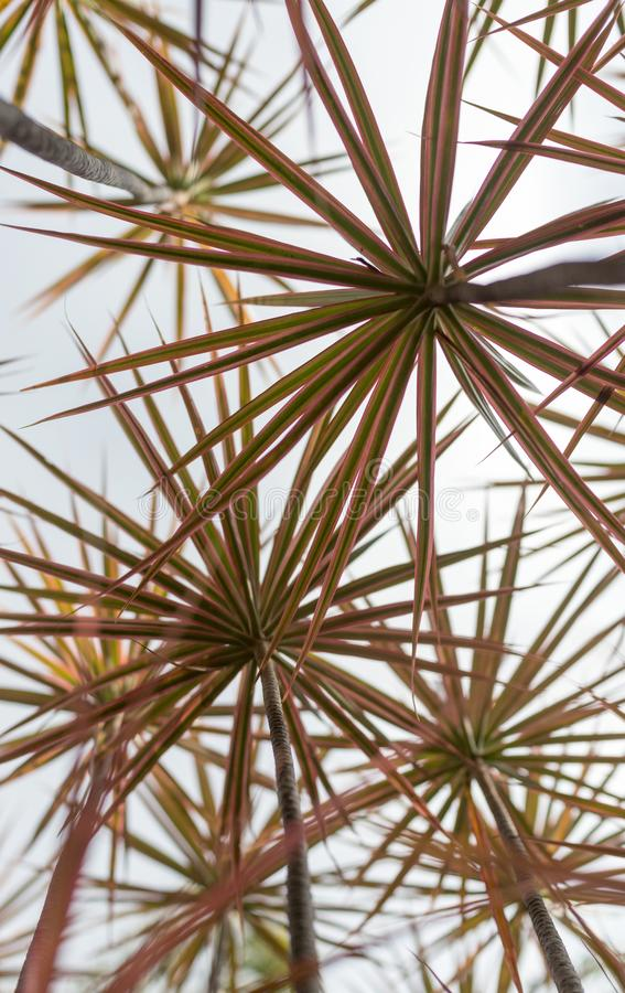 A grove of tropical plant Madagascar Dragon Tree - upward view. A grove of a tropical plant called Madagascar Dragon Tree Dracaena Marginata - upward view stock images