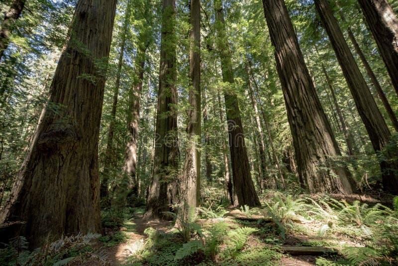 Grove von Rotholzbäumen im Wald in Kalifornien am Rotholz-Nationalpark lizenzfreies stockbild
