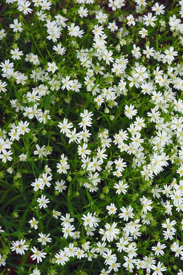 Grove von weißen Blumen von Agglomerated Ceraistium Cerastium stockfoto