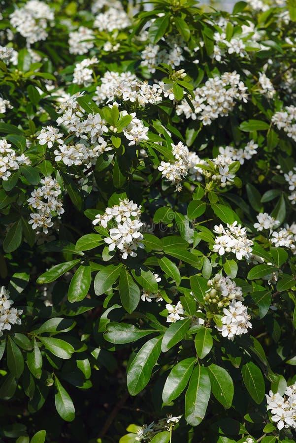 Grove von weißen Blumen eines mexikanischen Orangenbaums lizenzfreies stockfoto