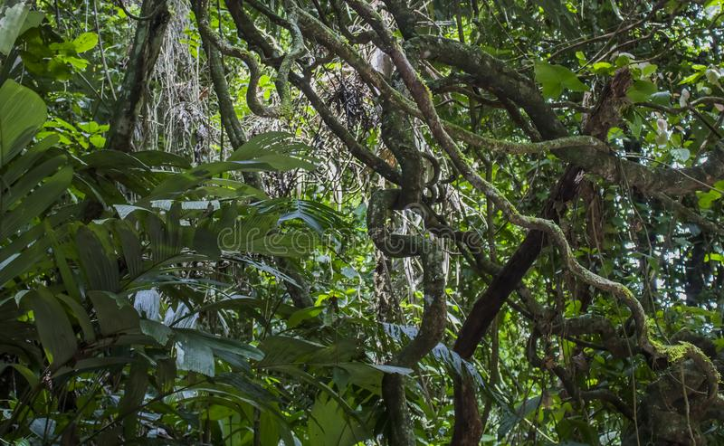 Groviglio del fogliame e delle viti della giungla nel verde fotografia stock libera da diritti