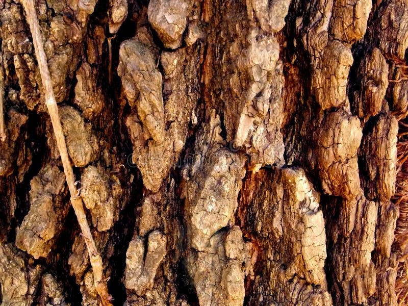 Grovt skäll för infödingMissouri träd arkivbilder