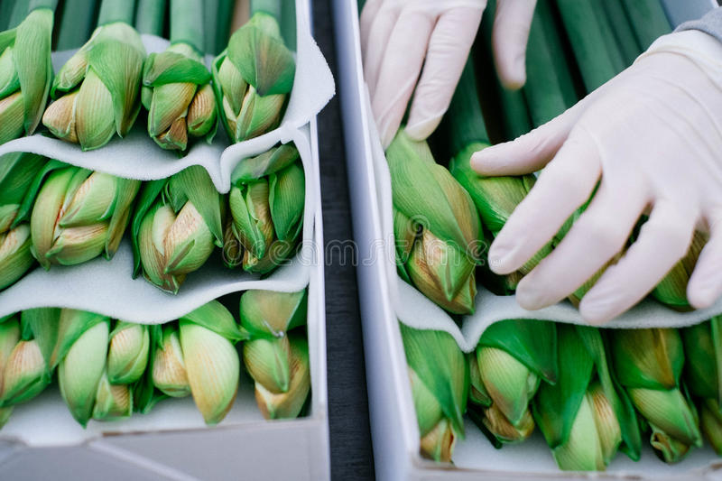 Grow with care. Packing cutted amaryllis flowers into boxes royalty free stock images