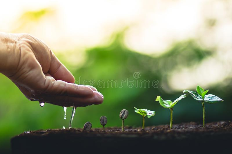 Grow coffee beans Plant coffee tree Hand care and watering the trees Evening light in nature royalty free stock images