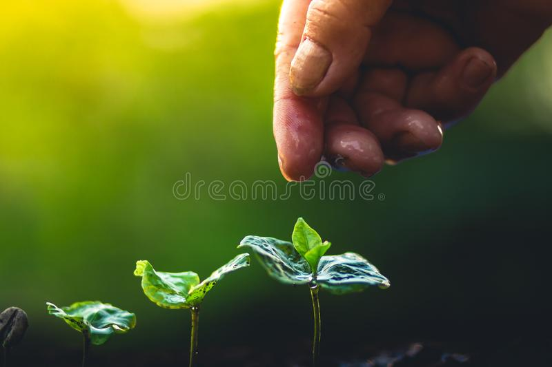 Grow coffee beans Plant coffee tree Hand care and watering the trees Evening light in nature stock photography