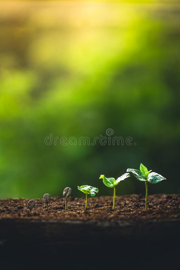 Grow coffee beans Plant coffee tree Hand care and watering the trees Evening light in nature royalty free stock photos