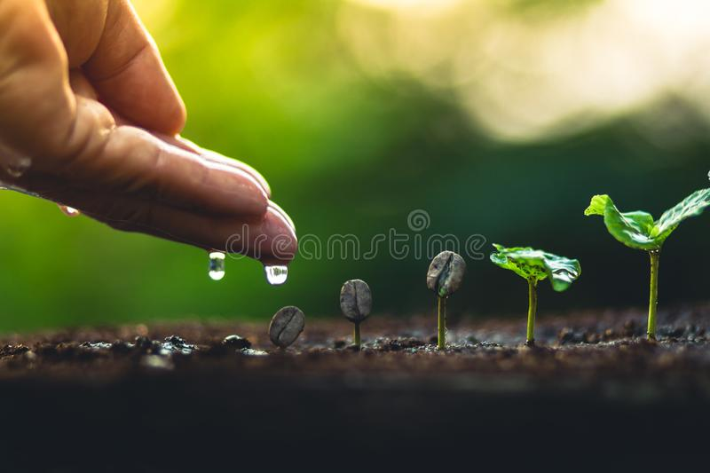 Grow coffee beans Plant coffee tree Hand care and watering the trees Evening light in nature stock image
