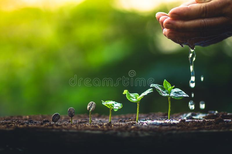 Grow coffee beans Plant coffee tree Hand care and watering the trees Evening light in nature stock photo