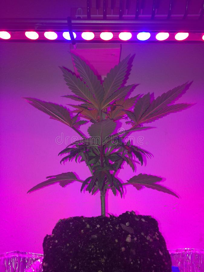 Grow Lights. Are absolutely amazing! I'd recommend them to everyone I know. I've had nothing but success with all my indoor plants, thanks to royalty free stock image