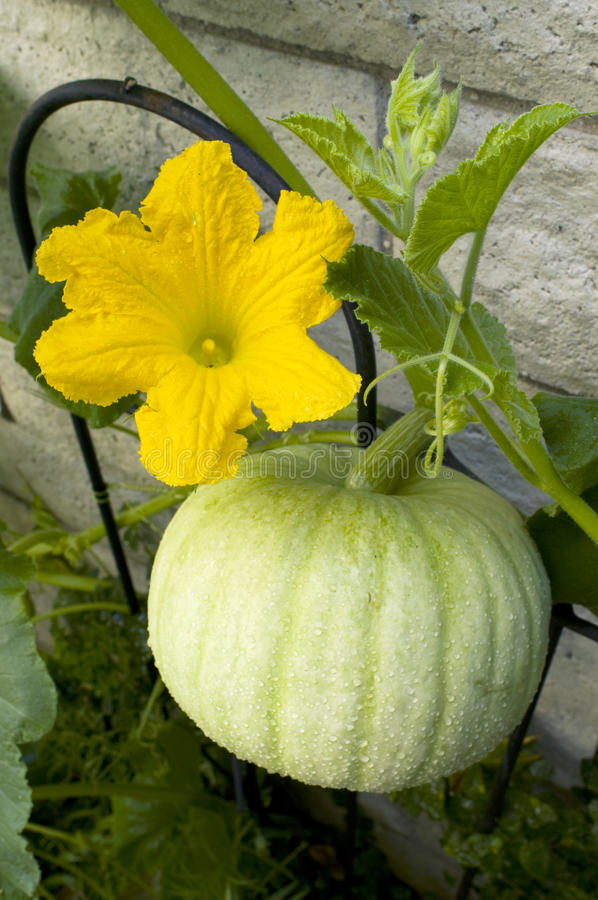 Download Grow your own pumpkin stock photo. Image of produce, healthy - 10307992