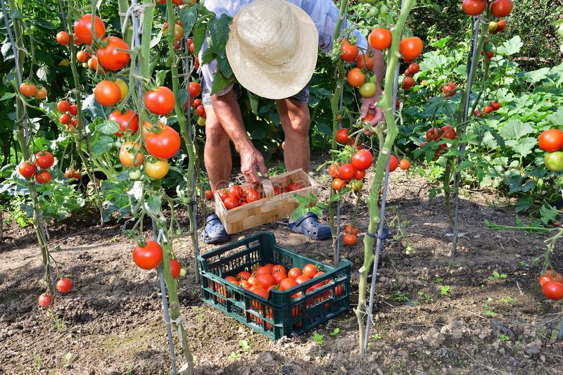 Grower to pick tomato crops royalty free stock photos