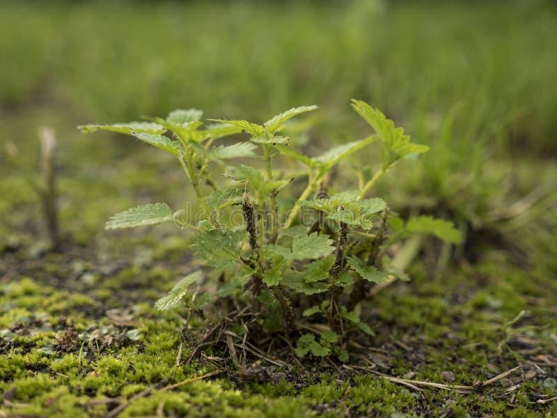 Growin della pianta su una terra del muschio fotografie stock