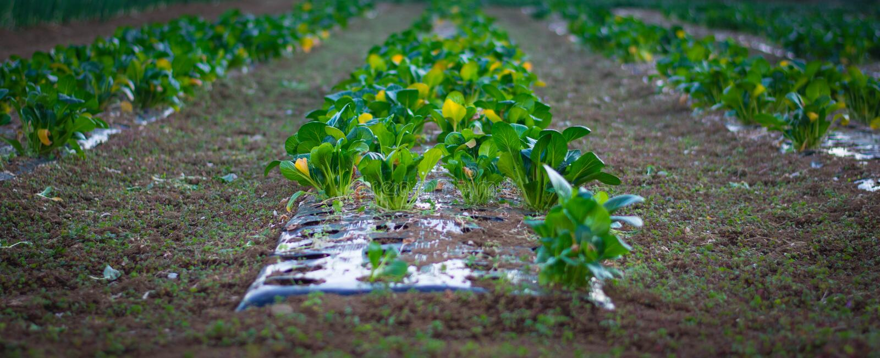 Growing капуст в строках в поле стоковое фото rf