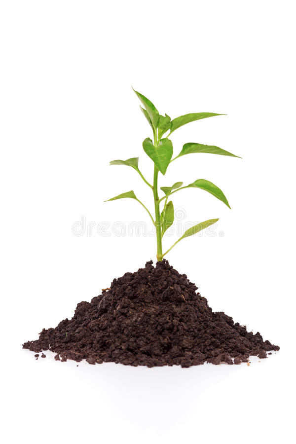Free Growing A Pepper Plant In Soil Stock Photography - 13906862