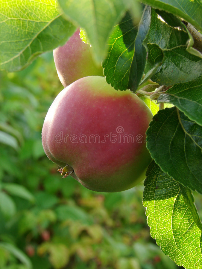 Free Growing Apple 1 Stock Photography - 5756412