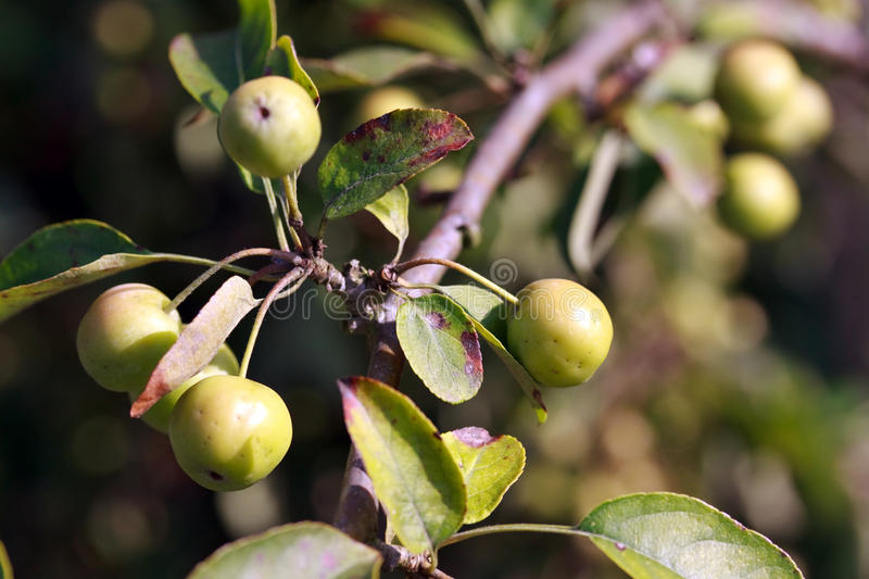 Growing Apple On The Apple-tree Branch Stock Photography