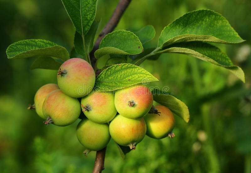 Growing apples royalty free stock images