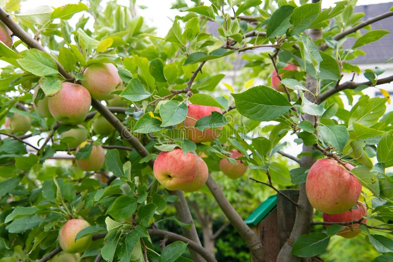 Ripening red and yellow apples on apple tree in garden stock photos