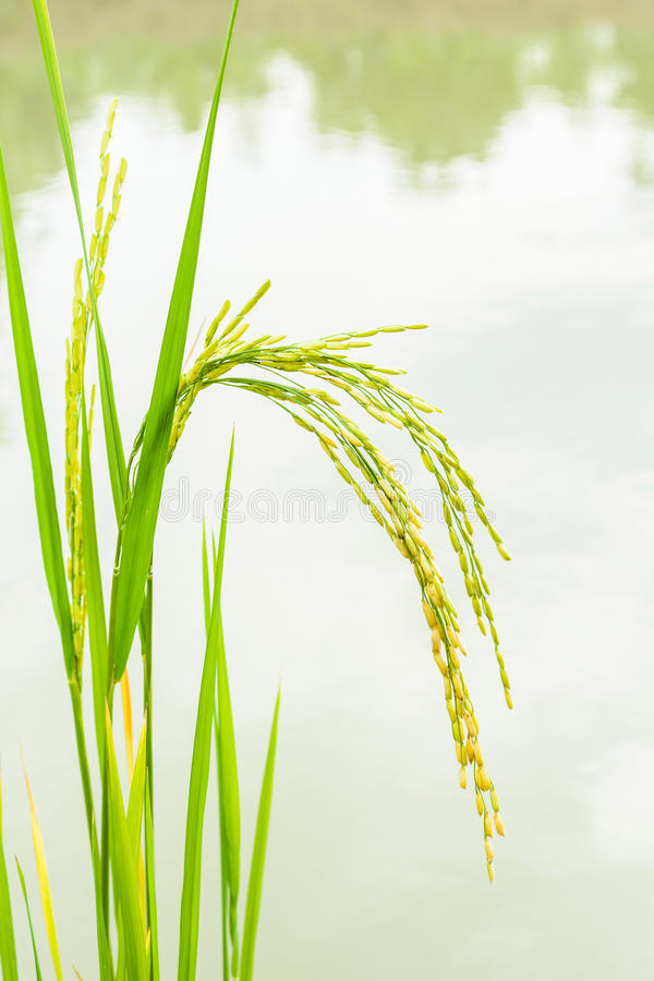 Free Growing Asian Rice, Baby Rice On Filed Royalty Free Stock Photos - 43906848