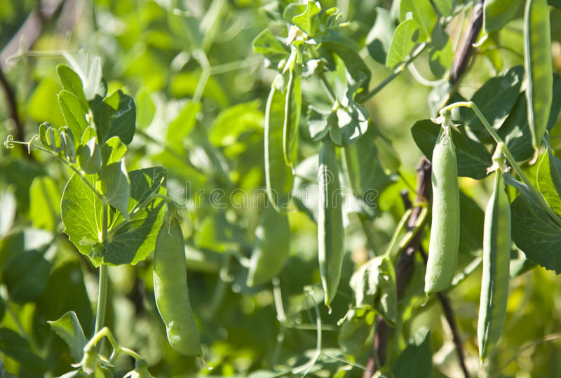 Download Growing bean stock photo. Image of backgrounds, flora - 25624668