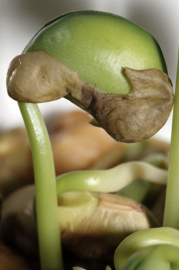 Growing bean stock image