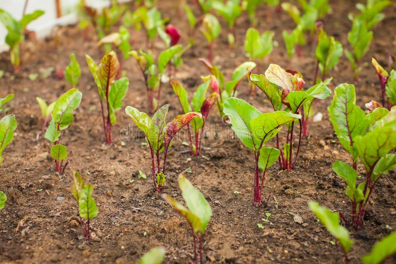 Growing beet seedlings. Young, sprouted beet growing in open ground flat bed into the garden royalty free stock photo