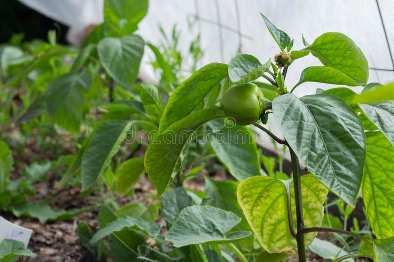 Growing the bell peppers, unripe peppers in the garden royalty free stock images