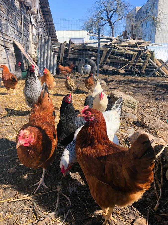 Growing bio chickens in a village. Colourful hens and roosters. Free-range chicken on an organic farm royalty free stock image