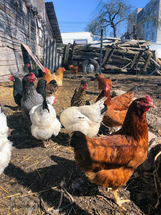 Growing bio chickens in a village. Colourful hens and roosters. Free-range chicken on an organic farm.  stock photography