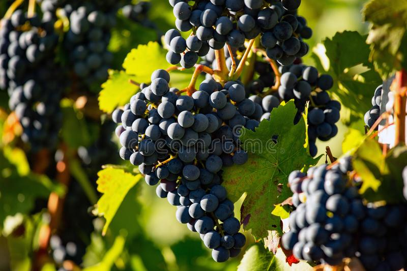 Growing black grapes. Growing grapes in Metzingen City / Weinberg 17.08.2019 Germany royalty free stock image