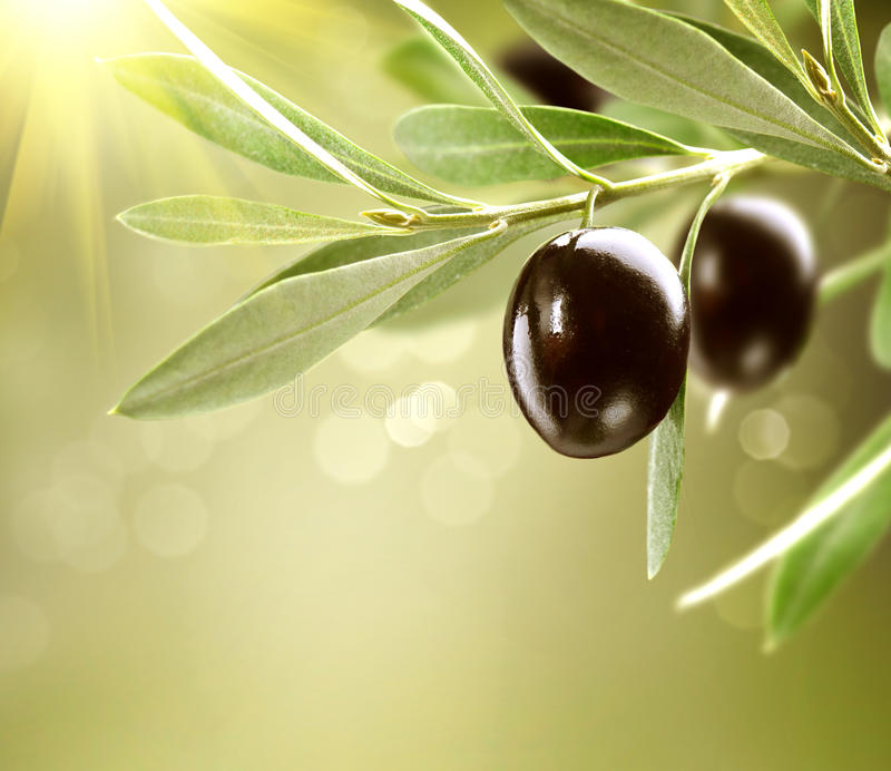 Growing Black Olives on olive tree. Growing Olives. Black Ripe Olive on a Tree stock photo