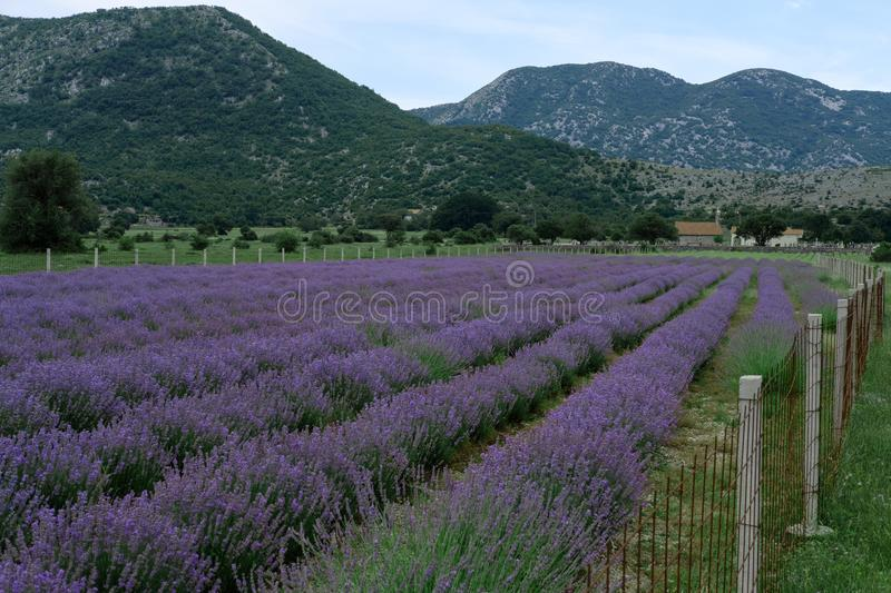 Growing blooming Lavender Flower field closeup. Slow motion.  royalty free stock photos