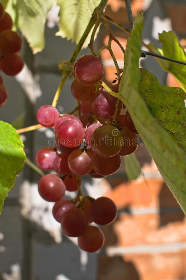 Growing branches of red wine grapes. Close up view of fresh red grape. Natural grapevine royalty free stock image