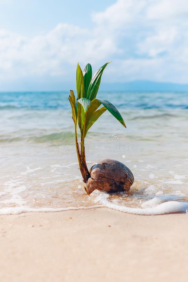 Growing coconut on sandy beach with wave stock photo