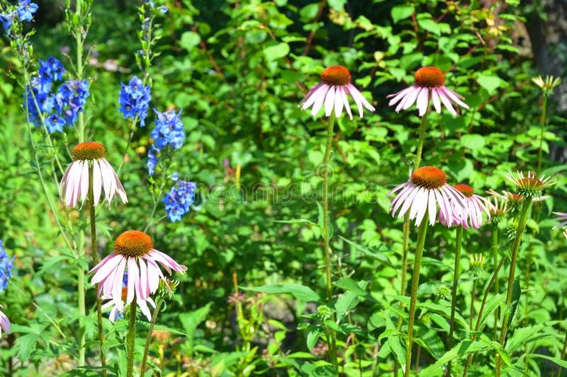 Growing coneflower or purple echinacea on garden bee-friendly flower bed. royalty free stock photos