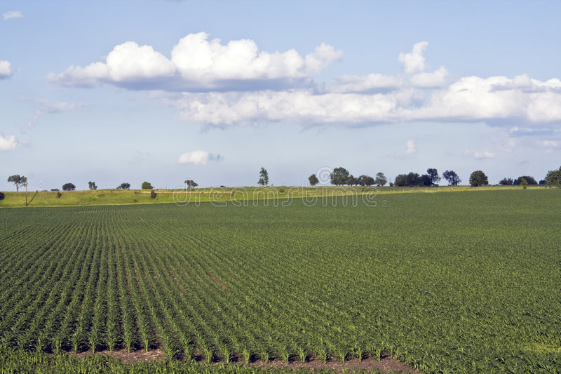 Growing Corn Field stock image