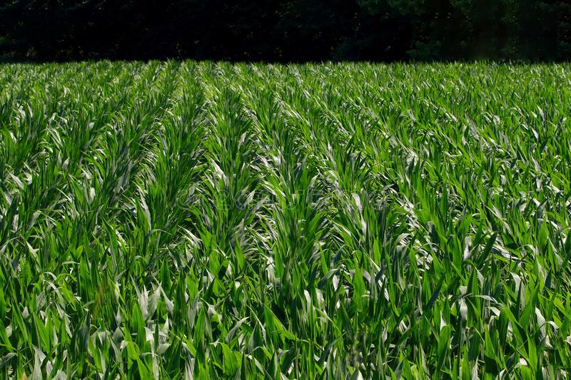 Growing Corn Rows. Long straight rows of young green growing corn run into the distance stock image