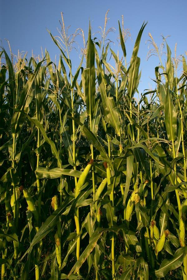 Growing corn stalks royalty free stock photo