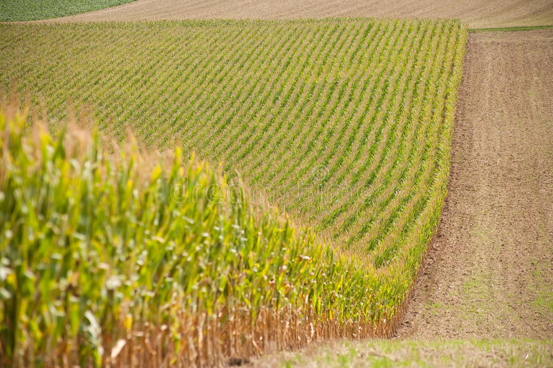 Download Growing cornfield stock photo. Image of yellow, farming - 14270346