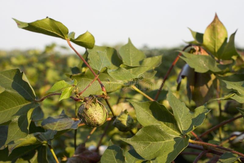 Download Growing Cotton Stock Image - Image: 21486111