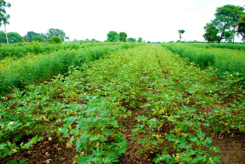 Growing Cotton plants in the field. stock image