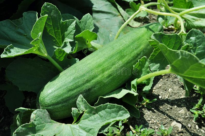 Growing Cucumber Royalty Free Stock Images
