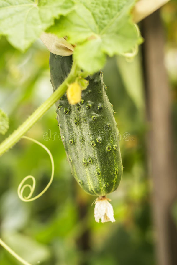 Download Growing Cucumber In The Garden Stock Photo - Image: 35363746